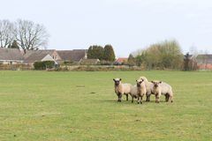Ovejas en Holanda Foto de archivo