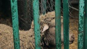 Ovejas en la alimentación de la jaula del ser humano metrajes