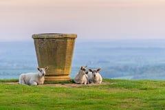 Ovejas en la colina de Dovers cerca del topograph foto de archivo