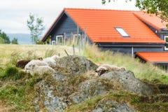 Ovejas en la colina de la roca Foto de archivo