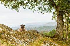 Ovejas en la colina de la roca Foto de archivo libre de regalías