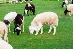 Ovejas en la granja Imagen de archivo libre de regalías