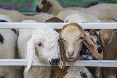 Ovejas en la granja Fotos de archivo libres de regalías