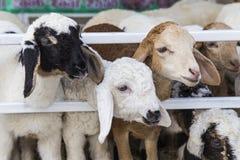 Ovejas en la granja Foto de archivo libre de regalías