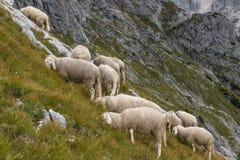 Ovejas en la ladera, montañas, Eslovenia de la granja imágenes de archivo libres de regalías