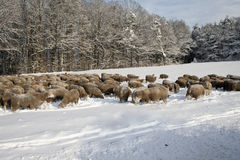 Ovejas en la nieve Fotografía de archivo
