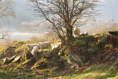 Ovejas en la pared en una mañana brumosa en Irlanda Imágenes de archivo libres de regalías