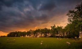 Ovejas en la puesta del sol Foto de archivo