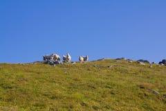Ovejas en las montañas 2 Imagen de archivo
