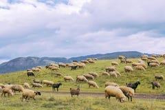 Ovejas en las montañas Imagen de archivo libre de regalías