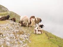 Ovejas en las montañas austríacas Foto de archivo libre de regalías