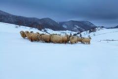 Ovejas en las montañas en invierno Fotografía de archivo