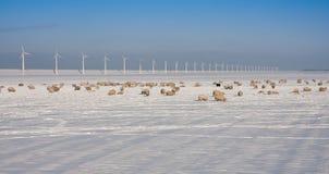 Ovejas en los campos anchos en invierno Imágenes de archivo libres de regalías