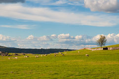 Ovejas en los prados verdes Paisaje rural Imágenes de archivo libres de regalías
