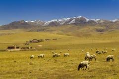 Ovejas en montaña de la nieve de Tíbet Fotografía de archivo