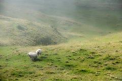 Ovejas en montañas de niebla Foto de archivo libre de regalías