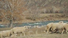 Ovejas en montañas: la manada del ganado camina cerca del río metrajes
