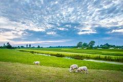 Ovejas en naturaleza en prado Cultivo al aire libre, Holanda fotos de archivo