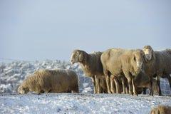 Ovejas en nieve Foto de archivo