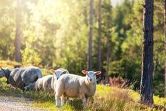 Ovejas en Noruega Foto de archivo