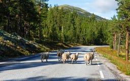 Ovejas en Noruega Fotos de archivo libres de regalías