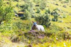 Ovejas en Noruega Imagen de archivo libre de regalías