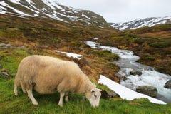 Ovejas en Noruega Imagenes de archivo