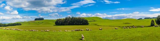 Ovejas en Nueva Zelanda imagen de archivo libre de regalías