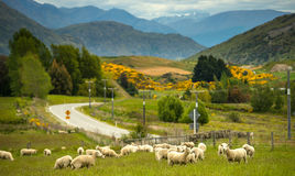 Ovejas en Nueva Zelanda. Foto de archivo libre de regalías