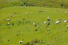Ovejas en Nueva Zelandia fotos de archivo