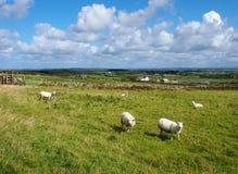 Ovejas en País de Gales fotos de archivo