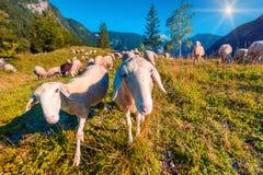 Ovejas en pasto alpino en día de verano soleado Foto de archivo