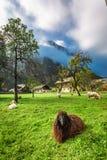 Ovejas en pasto en las montañas en la salida del sol Foto de archivo libre de regalías