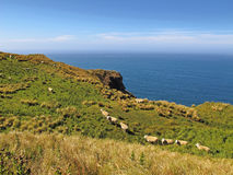 Ovejas en prado en la costa Fotos de archivo libres de regalías