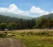 Ovejas en prado hermoso de la montaña Foto de archivo libre de regalías