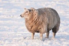 Ovejas en prado nevoso en los Países Bajos Imágenes de archivo libres de regalías