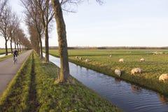 Ovejas en prado y ciclista cerca del purmerend al norte de Amsterdam adentro Foto de archivo