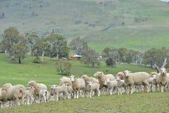 Ovejas en rancho imagenes de archivo
