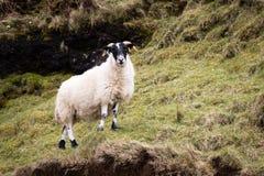 Ovejas en Skye Imagen de archivo libre de regalías