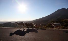 Ovejas en el camino en Andalucía Foto de archivo libre de regalías