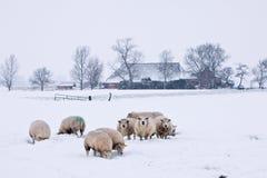 Ovejas en un paisaje blanco del invierno Imágenes de archivo libres de regalías
