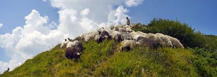 Ovejas en un pasto de la montaña Imagenes de archivo