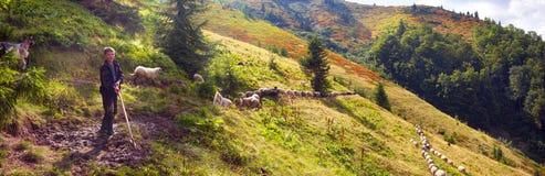 Ovejas en un pasto de la montaña Fotos de archivo
