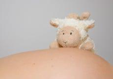 Ovejas en un vientre embarazado Fotos de archivo