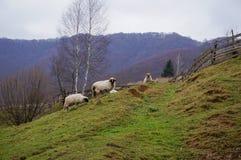 Ovejas en una colina Fotografía de archivo