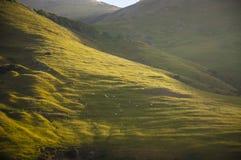 Ovejas en una colina en la península de Otago Foto de archivo libre de regalías