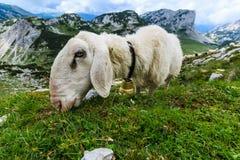 Ovejas en una cuesta de montaña que comen la hierba imagen de archivo
