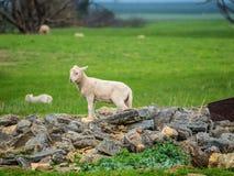 ovejas en una granja australiana Imágenes de archivo libres de regalías