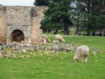ovejas en una granja australiana Fotografía de archivo