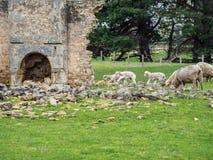 ovejas en una granja australiana Fotos de archivo